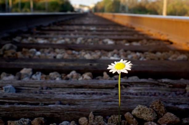 daisy-on-railroad-track.jpg.1145x0_q71_crop-scale